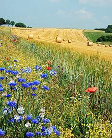 Campo di grano - Immagine desunta da Wikipedia.